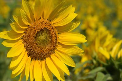Sunflowers 2014